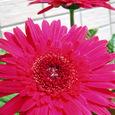 濃いピンクのガーベラ