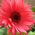濃いピンク色のガーベラ